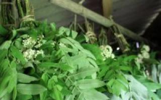 Рябиновые веники для бани – польза и вред, когда и как заготавливать